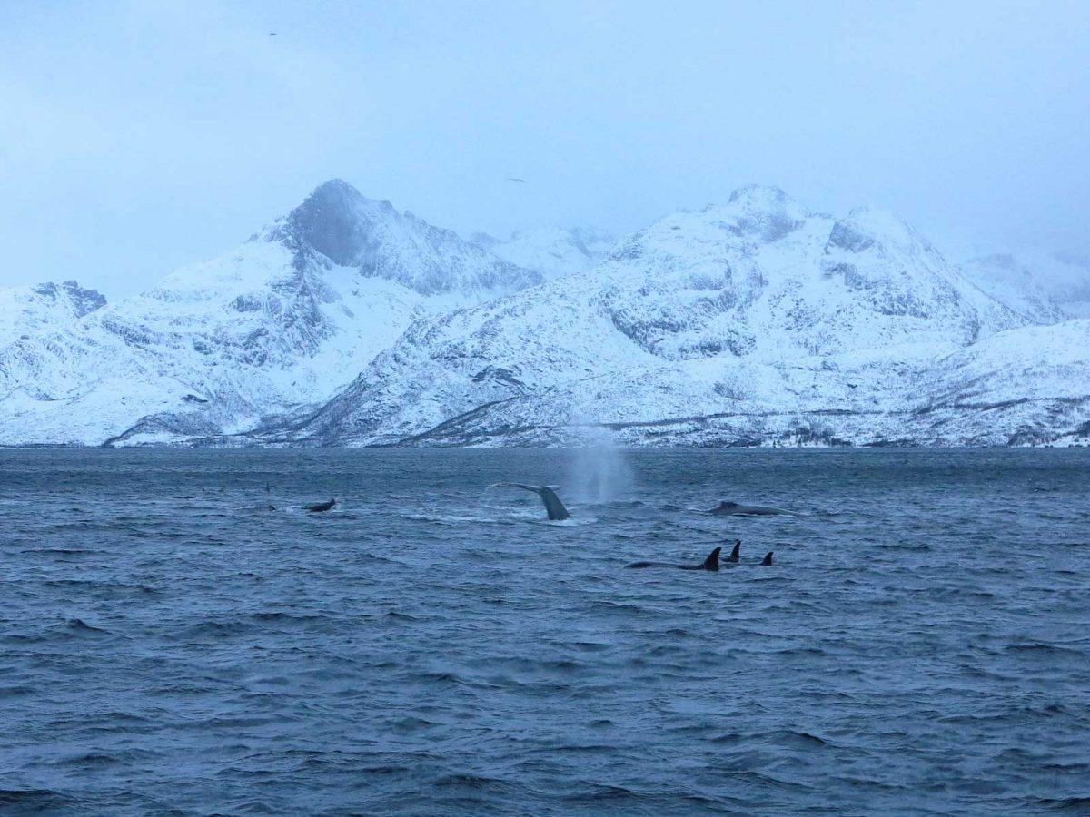 Giginatische Meeresriesen - Buckelwale meet Orcas