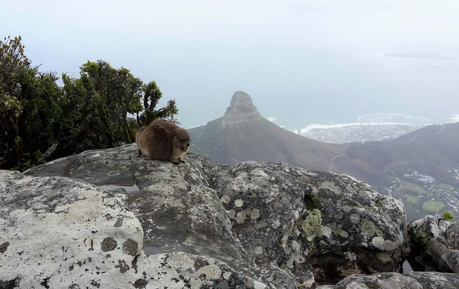Dassie auf dem Tafelberg