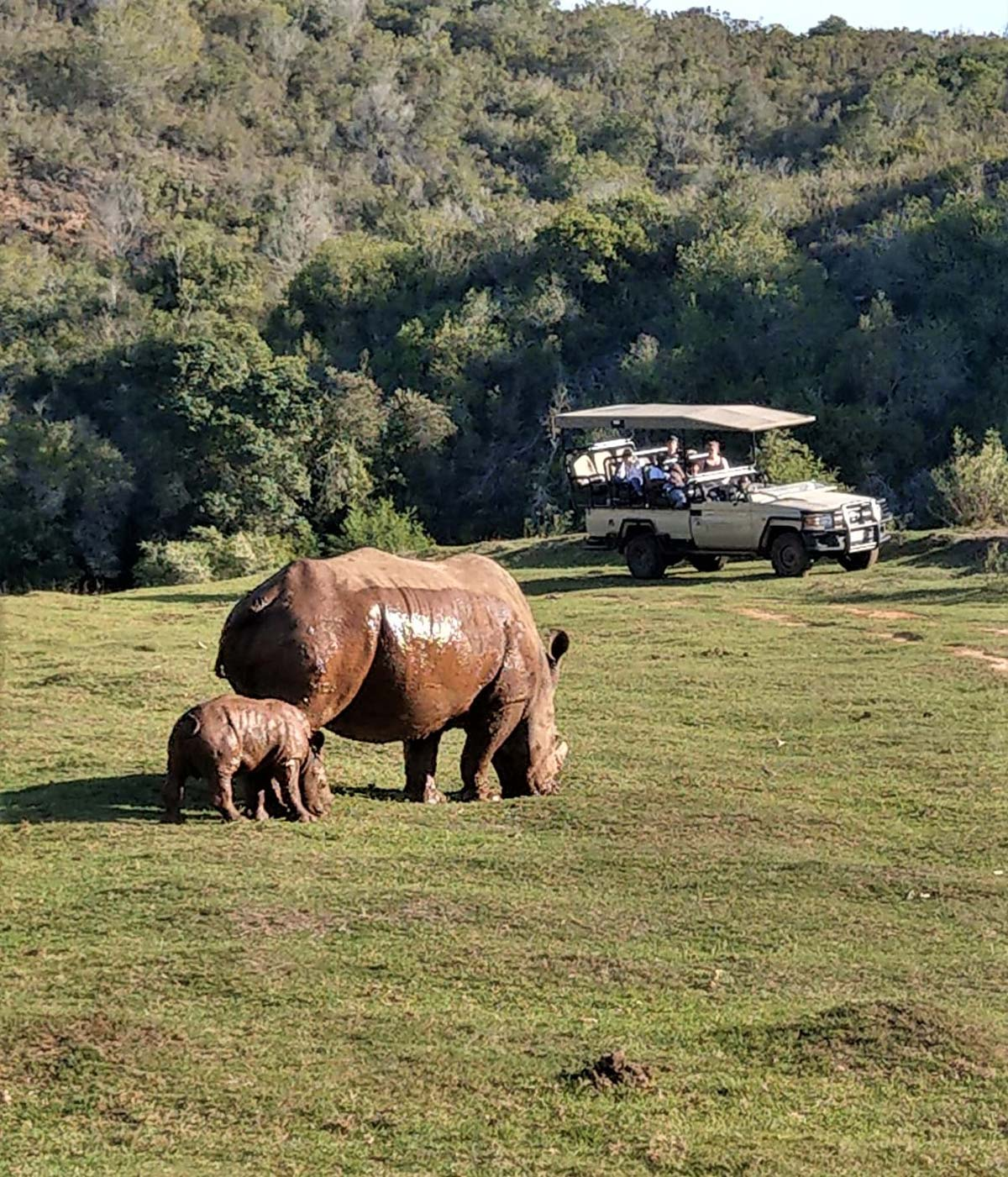 Safari Jeep mit Naßhorn Mama und Baby